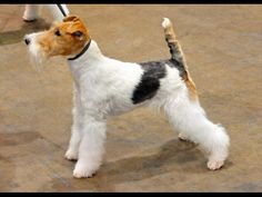 Wire-haired Fox Terrier's Behavior, Coat Care, Keeping Conditions and Health Considerations...
