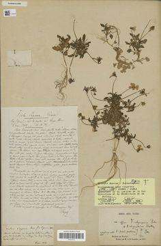 Occurrence Detail 437640185  유럽.프랑스_  많은 석회암 채석장과 식물학자들의 채취에 의한 멸종_http://www.iucnredlist.org/details/summary/165210/0