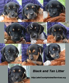 Black and Tan Litter looking for homes.