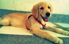 Puppy Breed: Golden Retriever  My name is Jagger. I am a very playful puppy. I like to play with my best friend Ace. I'm not a shy type. I always make friends easily because I am very friendly. I have many friends, especially in my paws and toes society.