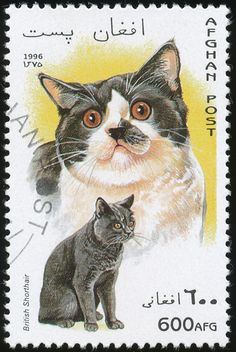 Afghanistan 1996 Cat Stamps - British Shorthair