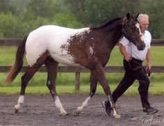 A snowcap Appaloosa, which means he is homozygous for the Lp gene and will always pass the Appaloosa gene to his offspring.