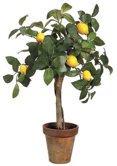 Havertys - Dwarf Lemon Tree