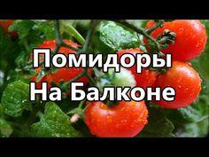 Помидоры. Выращиваем помидоры на балконе. Сад и огород. - YouTube