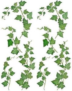 Identifying Trees and Their Leaves   Vine-illustration-clipart- ... - Cliparts.co