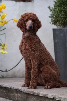 Kiera - Her colour is superb and even if I am a tad bit biased, she has the deepest red colour I have seen on a standard poodle. A beauty for sure.