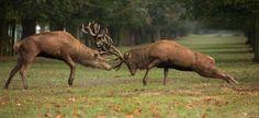 Wildlife Paintings, Wildlife Art, Deer Tracks, Skull Sketch, British Wildlife, Red Deer, Deer Hunting, Shih Tzu, Animal Kingdom