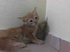 Safe! NYACC ***URGENT** BABY ALERT** TO BE DESTROYED 7/15/14 Manhattan Center  My name is PUMPERNICKEL. My Animal ID # is A1006492. I am a male orange and org tabby domestic sh mix. The shelter thinks I am about 5 WEEKS old.  I came in the shelter as a OWNER SUR on 07/11/2014 from NY 11213,  STRAY. I came in with Group/Litter#K14-185697.  https://m.facebook.com/photo.php?fbid=830901753588325&id=155925874419253&set=a.576546742357162.1073741827.155925874419253&source=43