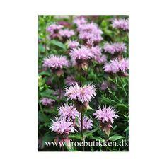 Indianermonarda Frø. Spiselige blomster Plant