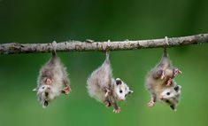 I know a lot of people think opossums are disgusting, but look how cute these babies are..! I love them.+