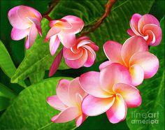 Pink Plumeria Photograph  - Pink Plumeria Fine Art Print