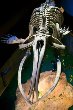 https://flic.kr/p/FyP1U8 | In the Belly of the Whale | I will end my vacation slide show (whew!) with this, the North Atlantic Right Whale skeleton, which is suspended above the penguin habitat at the New England Aquarium.  Saturday, already.  I hope everyone has a great weekend.