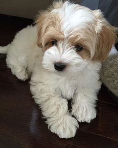 Pin for Later: 25 Adorable Dog Hybrids You Had No Idea Existed Maltipoo: #maltese + Poodle