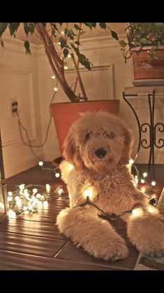 Goldendoodle in the lights.