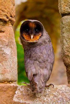 A melanistic Barn Owl named 'Sweep'. Photo by John Harding.