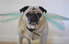 When pugs can fly