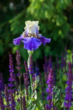 Tall Bearded iris IN YOUR DREAMS,  Salvia CARADONNA