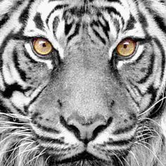 ※ Tiger Face ※ (BxW with color) - Brian Pfaltzgraff