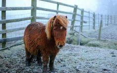 Sweet shetland pony