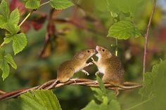 Harvest Mice in the Wild photographed by French wildlife photographers Jean-Louis Klein & Marie-Luce Hubert. via its nice that