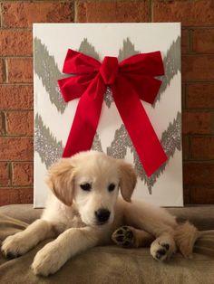 cute photograph for Christmas #goldenRetriever