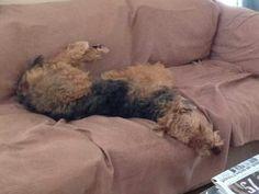 Airedale Sleep Position # 87