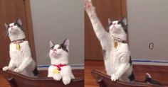 An owner turned on the ceiling fan and these two cute cats can handle it.