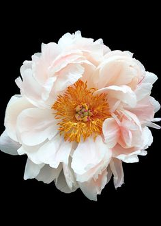 Light Pink Peony by gabyburger on Etsy