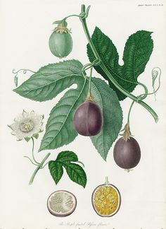 The Purple-fruited Passion-flower, Passion Flower Print USD $175 Horticultural Society of London Transactions Antique Prints 1835