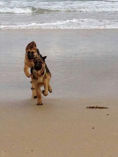 German shepherds at the beach