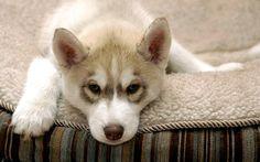chien husky | Alerter les modérateurs Voir l'image au format original
