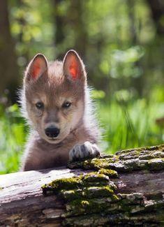 Incontri ravvicinati. Un bellissimo cucciolo di lupo :)