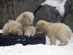 Mischievous polar bear cubs