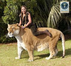 Hercules-Largest living cat. He is a male, adult Liger (tiger/lion hybrid) @ Myrtle Beach Animal Safari Park.