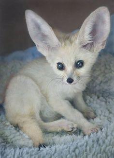 San Diego Zoo Fennec Fox, Fireball. Awww :)