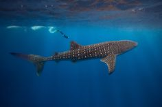 """Formed in conjunction with a not-for-profit charity, this project offers volunteers the chance to """"conduct whale shark research and whale shark conservation and foster community-focused initiatives throughout the Maldives region"""""""