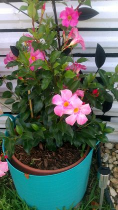 Mandevilla.  May 23 2015