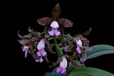 Catleya tigrina (Cattleya leopoldii) | Cattleya tigrina A.Ri… | Flickr