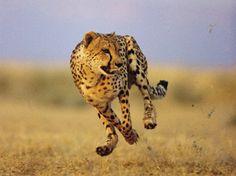 gepard - Google-Suche