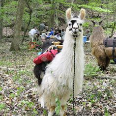 I want my llamas to be able to do this.  Not likely, but one can dream :-)