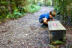 Child with Predator Trap in National Parkland, New Zealand royalty-free stock photo