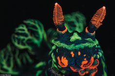 A high magnification photo of a nudibranch (Nembrotha kubaryana), showing orange mouth parts and sensory rhinophores and green gills (out of focus). Captured in North Sulawesi, Indonesia