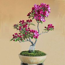 10 Seeds / Pack, Dark Red Apple Flowering Plant Bonsai Tree Seed