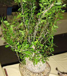 Fouquieria fasciculata 2