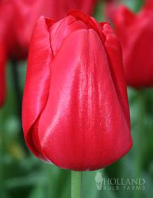 Red Tulips: Red Triumph Tulip Bulbs14 - 5
