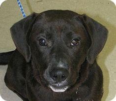 Gone  Please Save  West Memphis, AR - Labrador Retriever/Basset Hound Mix. Meet Colt a Dog for Adoption.