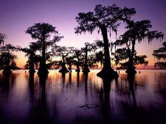 Louisiana bayou swamp Bald Cypress