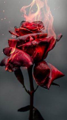 Burning Rose, fire, red flower wallpaper Roses include the main items that give us Red Flower Wallpaper, Vintage Wallpaper, Dark Wallpaper, Wallpaper Backgrounds, Iphone Backgrounds, Cool Pictures For Wallpaper, Red And Black Wallpaper, Phone Wallpapers, Aesthetic Roses