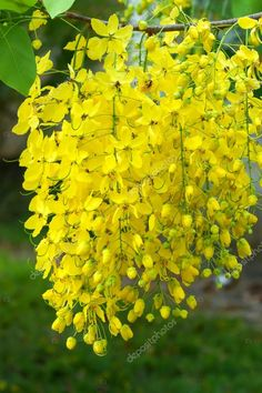 Sona Jhuri Flowering trees Yellow flowers and Flowers