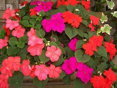 Impatients flowers